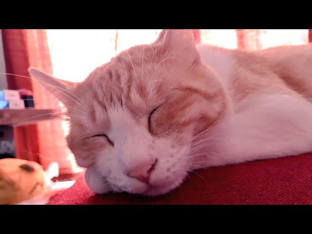 【クイズ企画】真夏の暑さにグダる猫で遊んでみた!