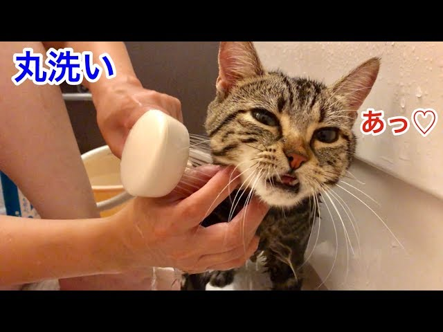 おしっこが身体にかかってしまい妹にお風呂で丸洗いされる猫
