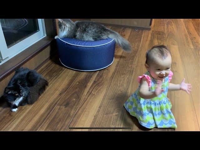赤ちゃんを大爆笑させる猫 ノルウェージャンフォレストキャット Cat that makes baby laugh