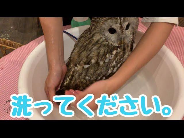 【フクロウの お散歩の続編】cute owl お散歩から帰宅後!もりちゃんお風呂に入る!