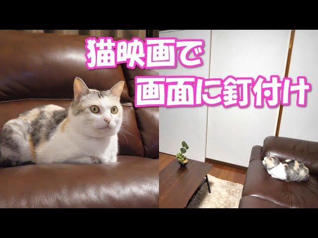 飼い主よりも真剣に猫映画を鑑賞する三毛猫姉さん