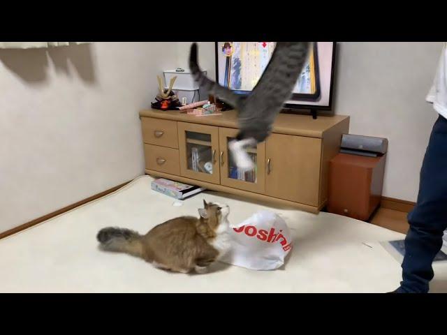 カッコいいジャンプもできる父猫がかわいい