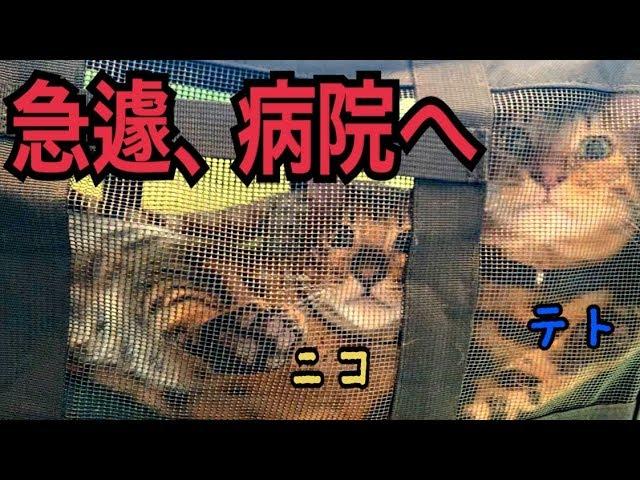 急いでベンガル猫テトとニコを病院へ連れて行きました