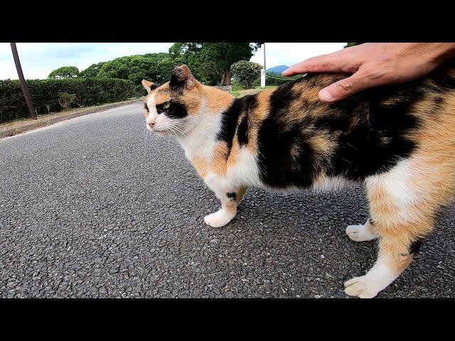 腰トントンが好きな三毛猫ちゃんをナデナデしてたらあの子猫がやって来た