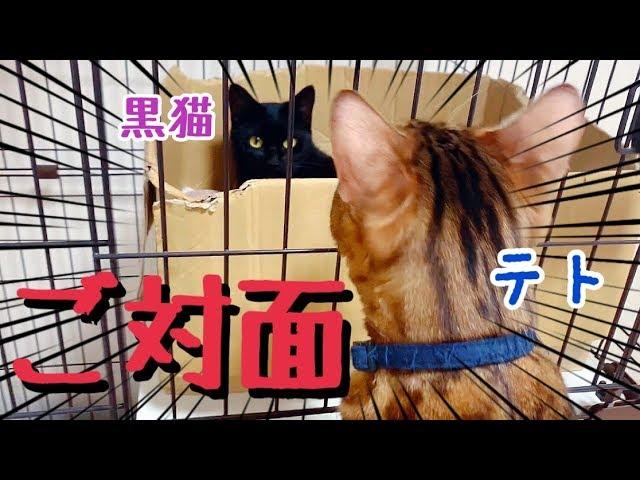 ベンガル猫テトと保護した黒猫を対面させてみました(ケージ越し)