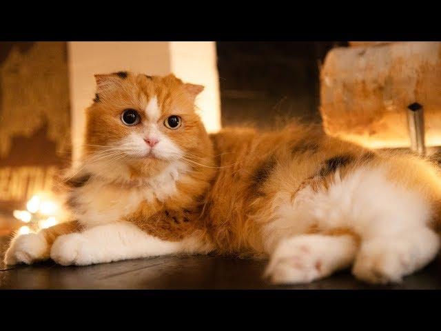 【不思議猫】謎の生命体ティッティの様子【スコティッシュフォールド】