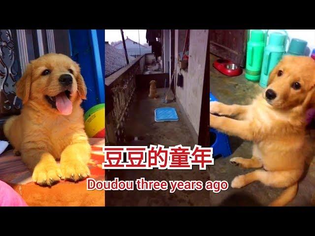 【金毛忠犬豆豆】看豆豆小时候有多乖多爱干净 两个月的小狗狗就知道定点上厕所