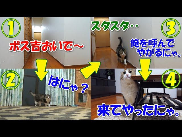 名前を呼ばれると部屋まで歩いて来るボス猫