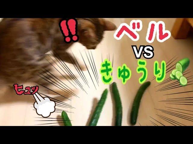 ベンガル猫ベルvsきゅうりの大群